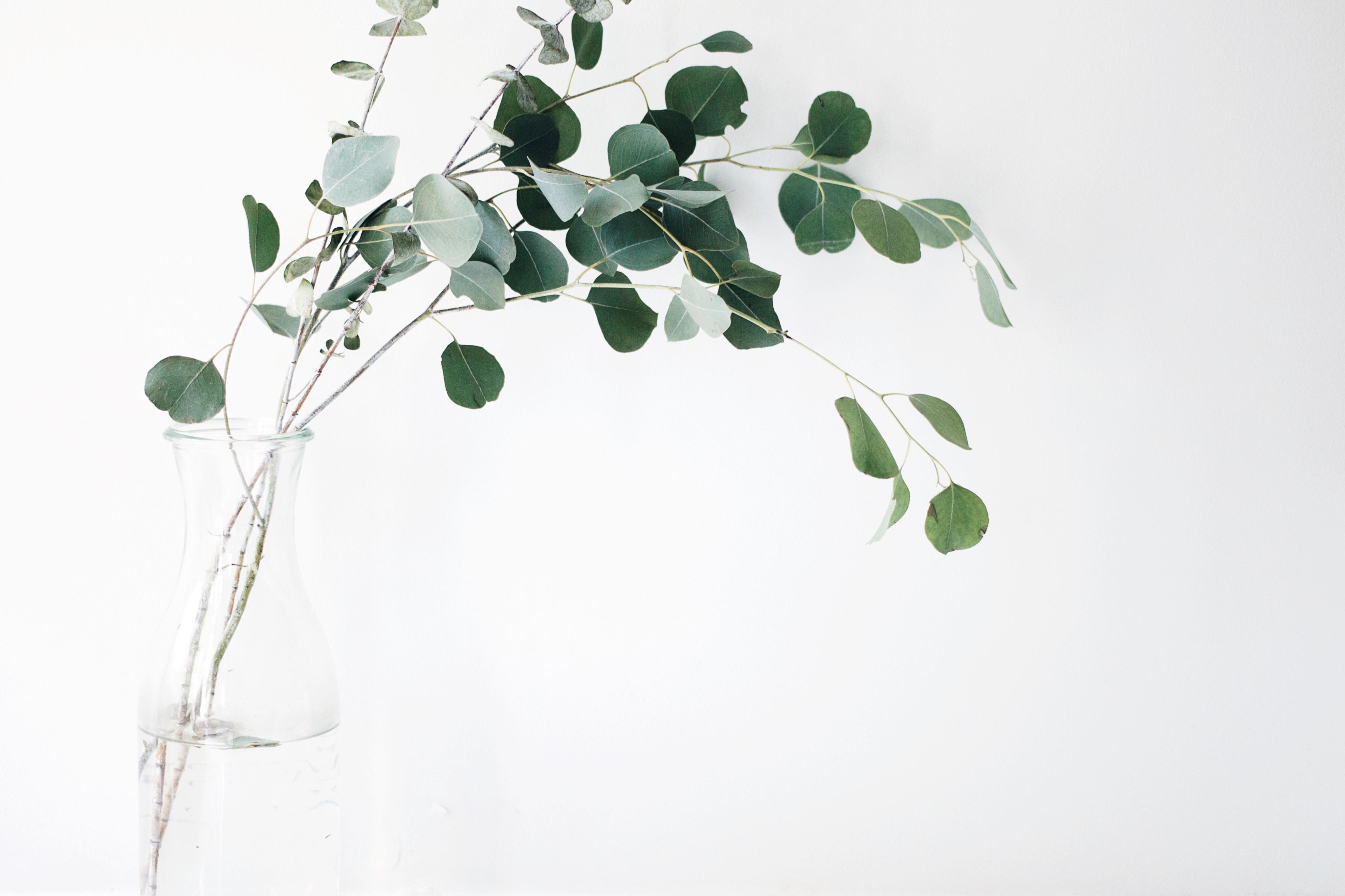 Eucalyptus branches in vase