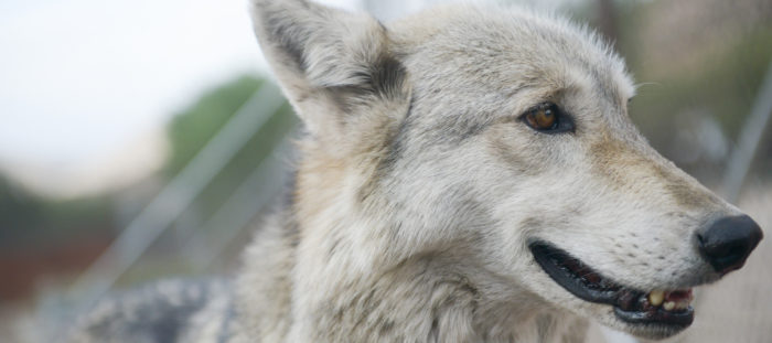 How Wolf Therapy Can Help Heal Emotional Wounds